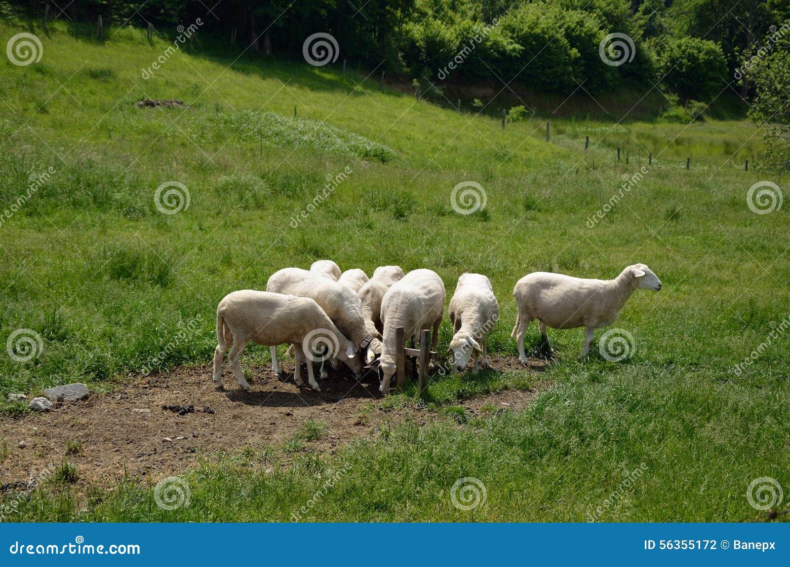 White sheep herd - photo#5