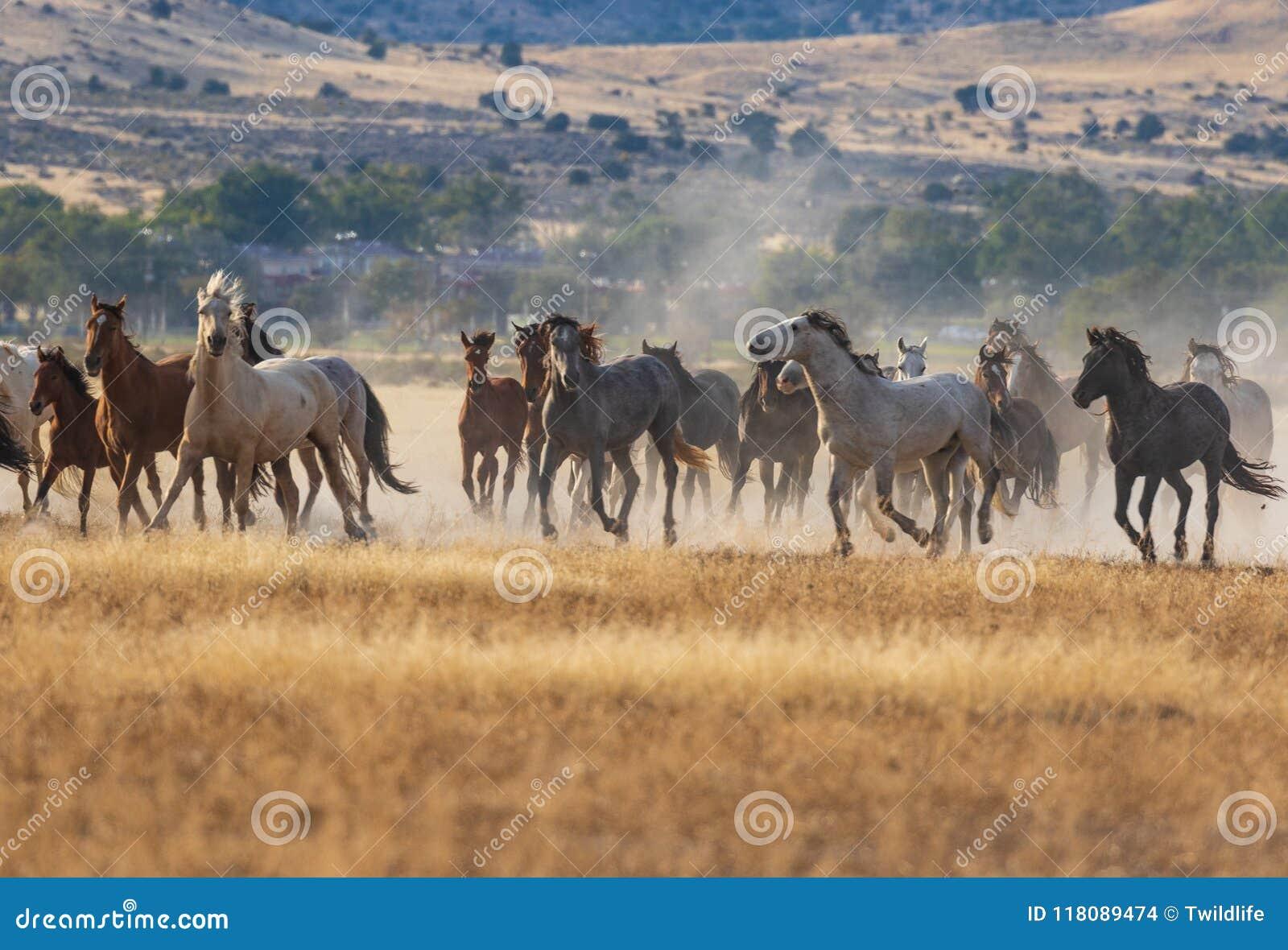 Herd Of Wild Horses Running Stock Photo Image Of Mustang Animal 118089474