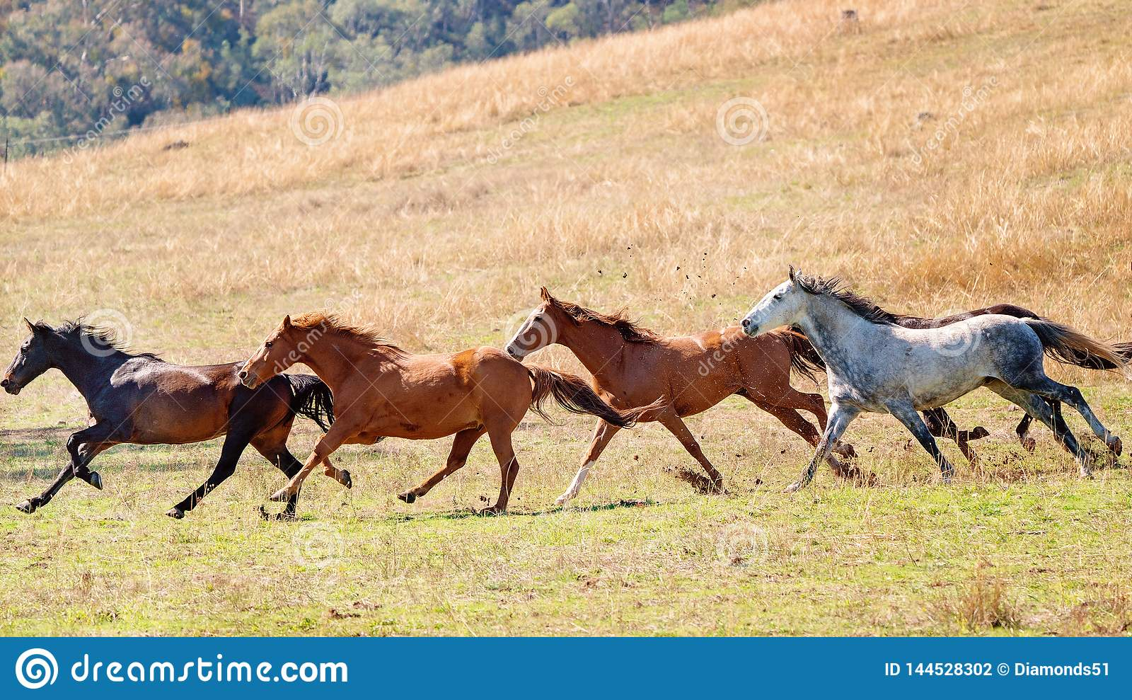A Herd Of Wild Horses Racing Across Country Stock Photo Image Of Countryside Farm 144528302