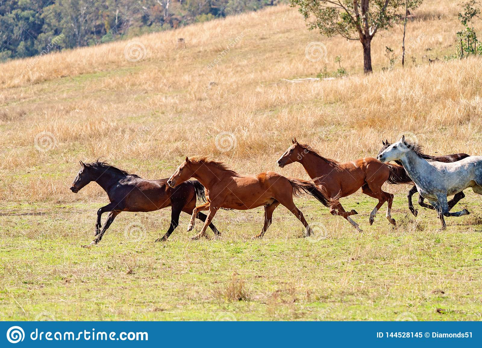 A Herd Of Wild Horses Racing Across Country Stock Image Image Of Mammal Herd 144528145