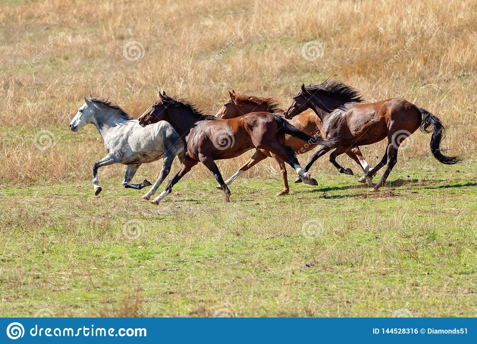 A Herd Of Wild Horses Racing Across Country Stock Photo Image Of Herding Freedom 144528316