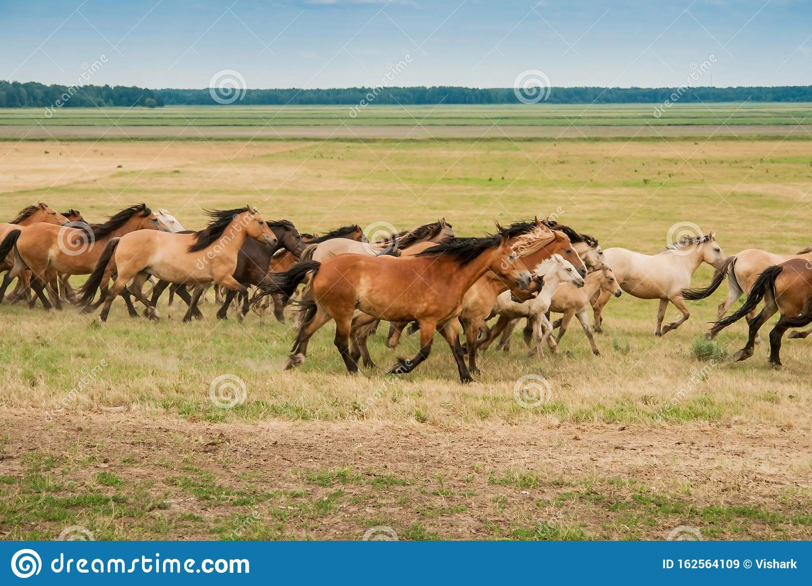 A Herd Of Wild Horses Run Across The Field Stock Image Image Of Equine Mare 162564109