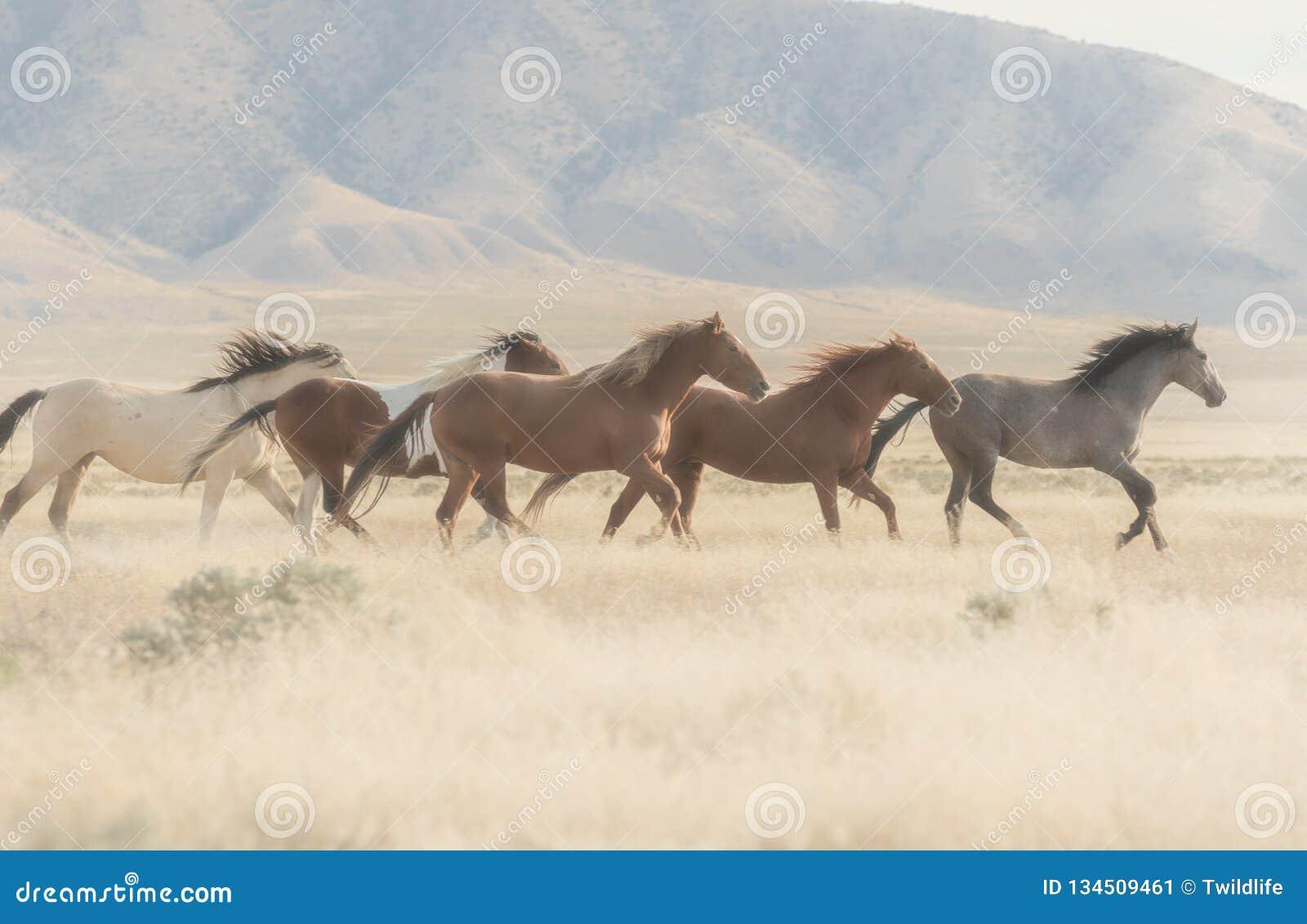 Herd Of Wild Horses Running Stock Image Image Of Dust Americana 134509461