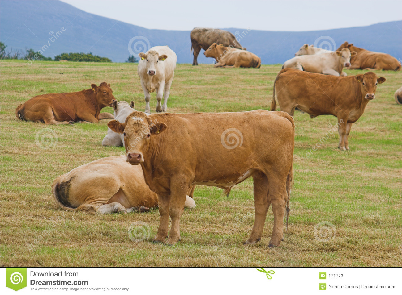 A herd of young bulls