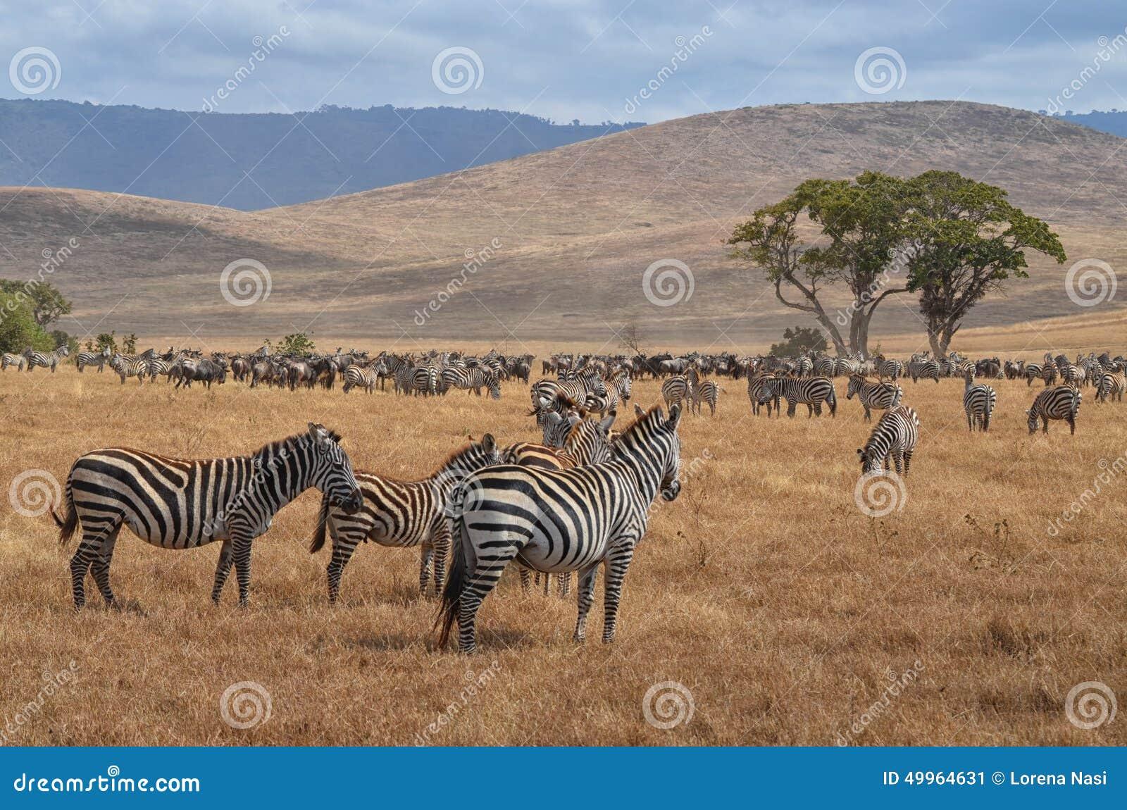 Herd of Zebras and Gnus