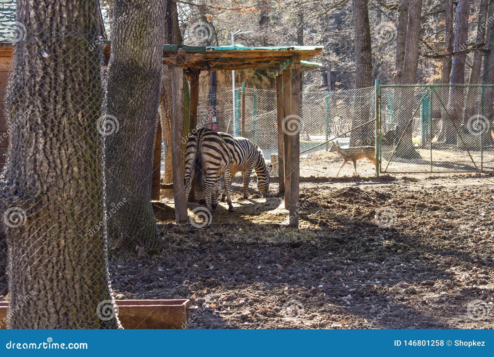Herd of zebras in the ZOO