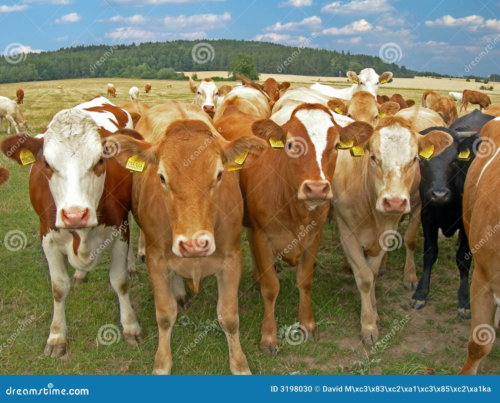 Herde der Kühe