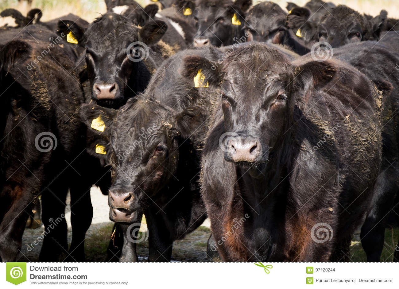 Herde der Kuh, Neuseeland