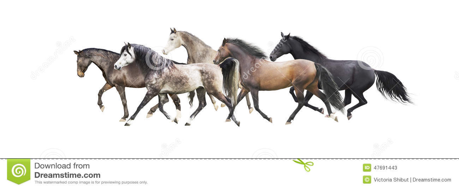 Herde von den Pferden, die, lokalisiert auf Weiß laufen
