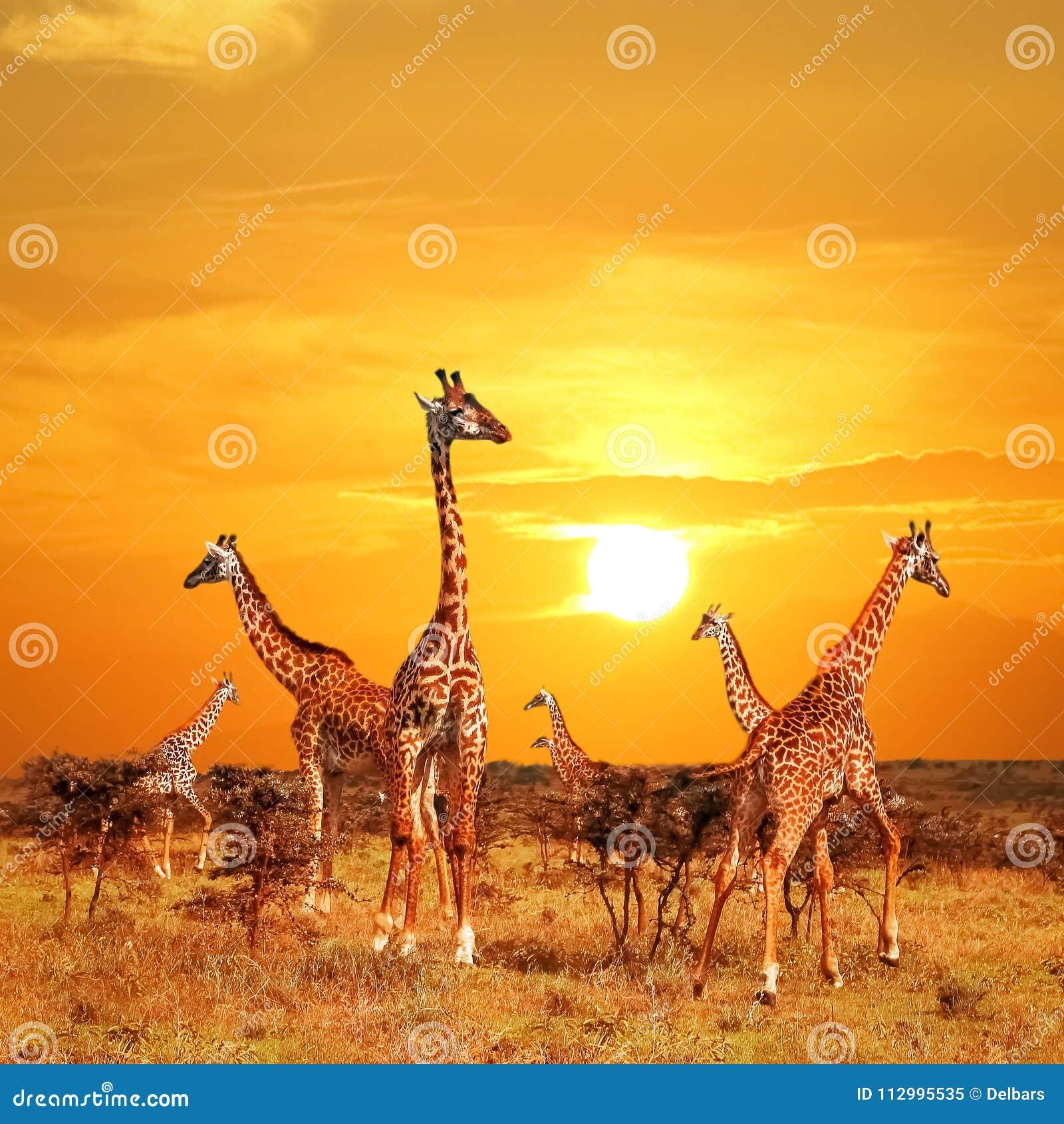 Herde von Giraffen in der afrikanischen Savanne gegen Sonnenunterganghintergrund Nationalpark Serengeti tanzania