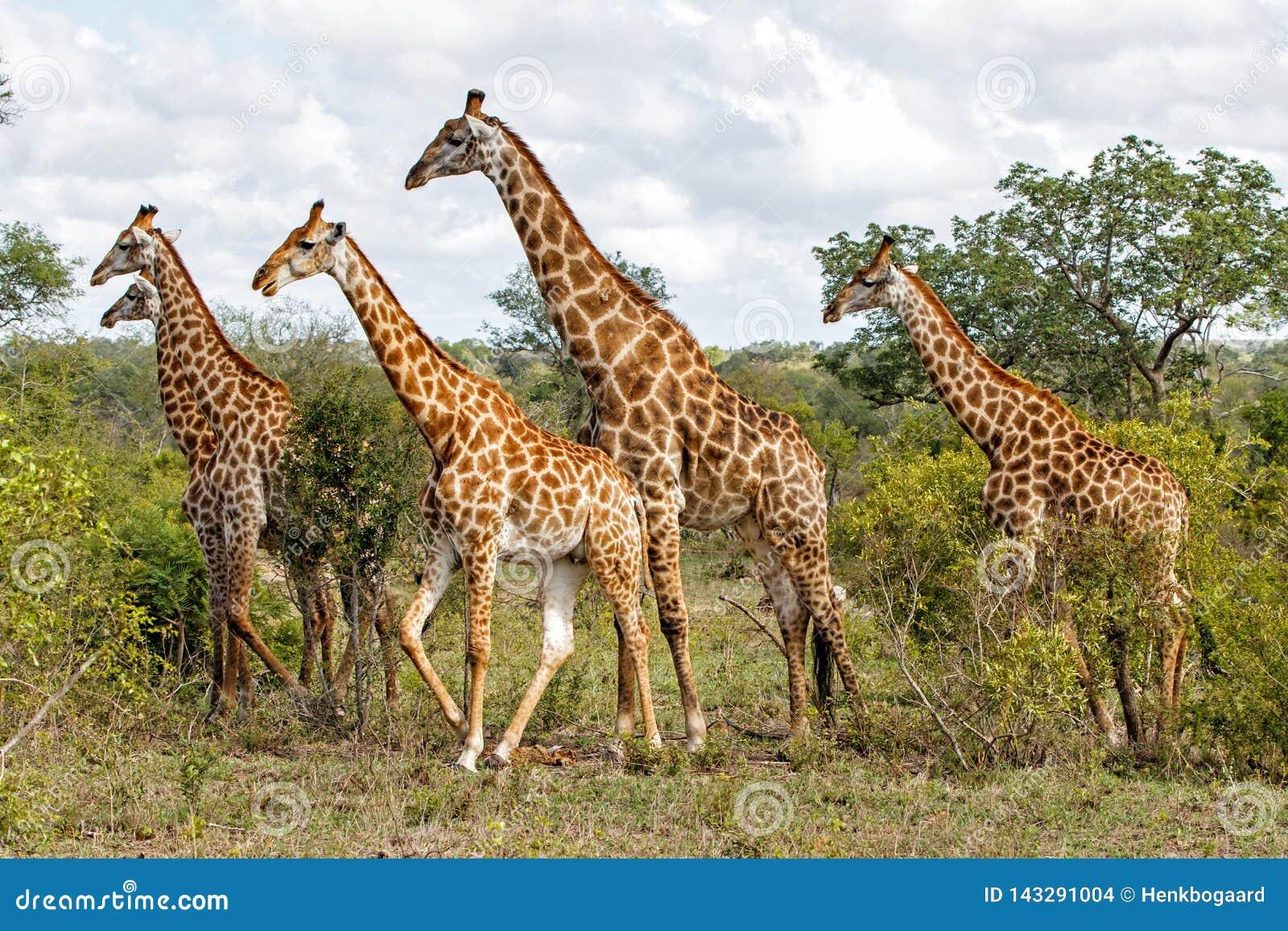 Herde von Giraffen in Südafrika