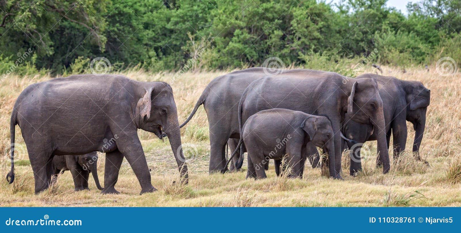 Herde von indischen Elefanten mit Jungen