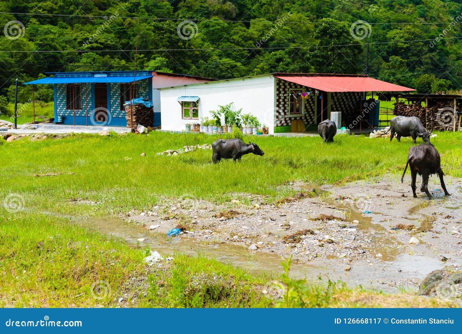 Herde von Wasserbüffeln im ländlichen Dorf, Annapurna-Naturschutzgebiet, Nepal