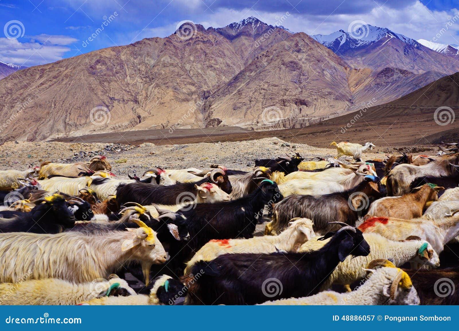 Herde von Ziegen auf dem Abhang