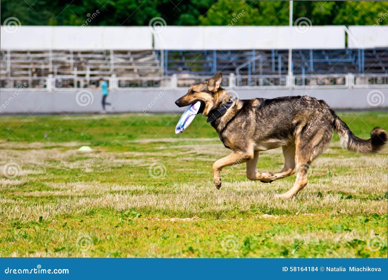 Herdehund som jagar konkurrenser för en Frisbeediskett