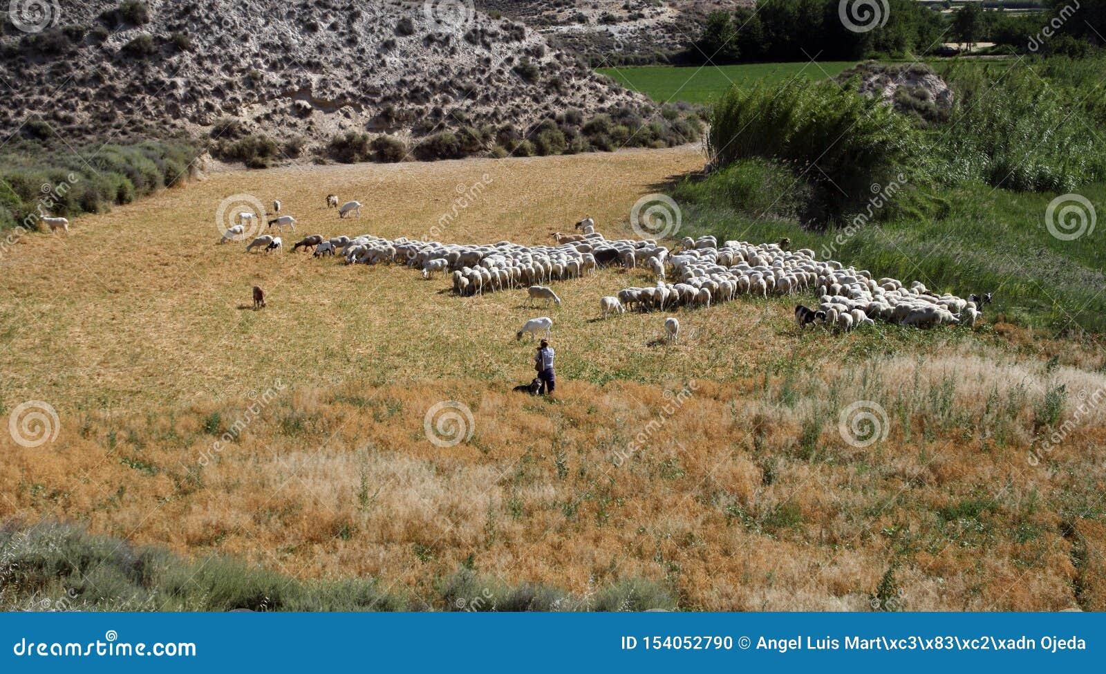 Herder en een troep van schapen