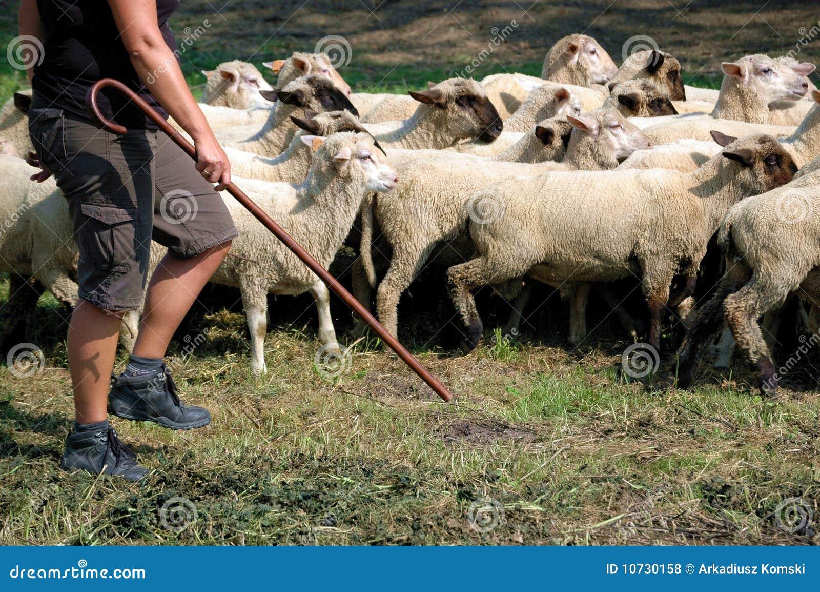 Herder en troep van schapen