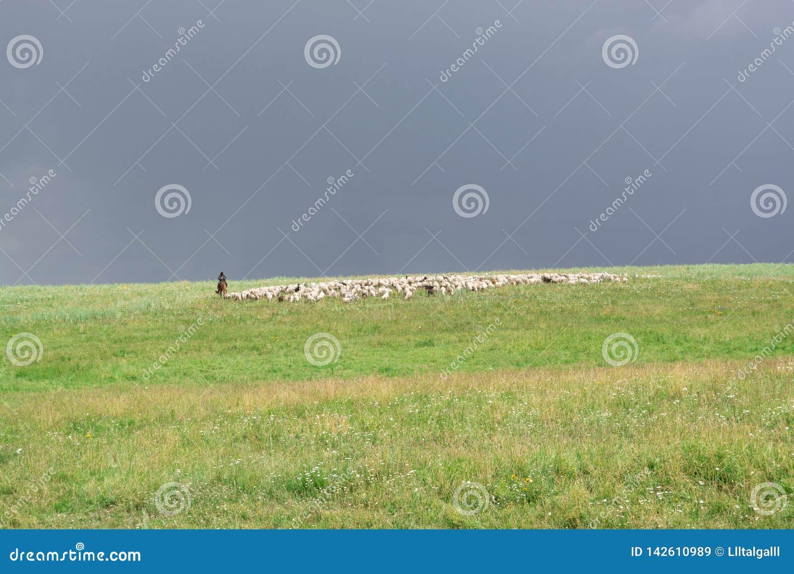 Herder With Sheep De troep weidt op de heuvel Groene Heuvel Licht onduidelijk beeld in agent om motie te tonen