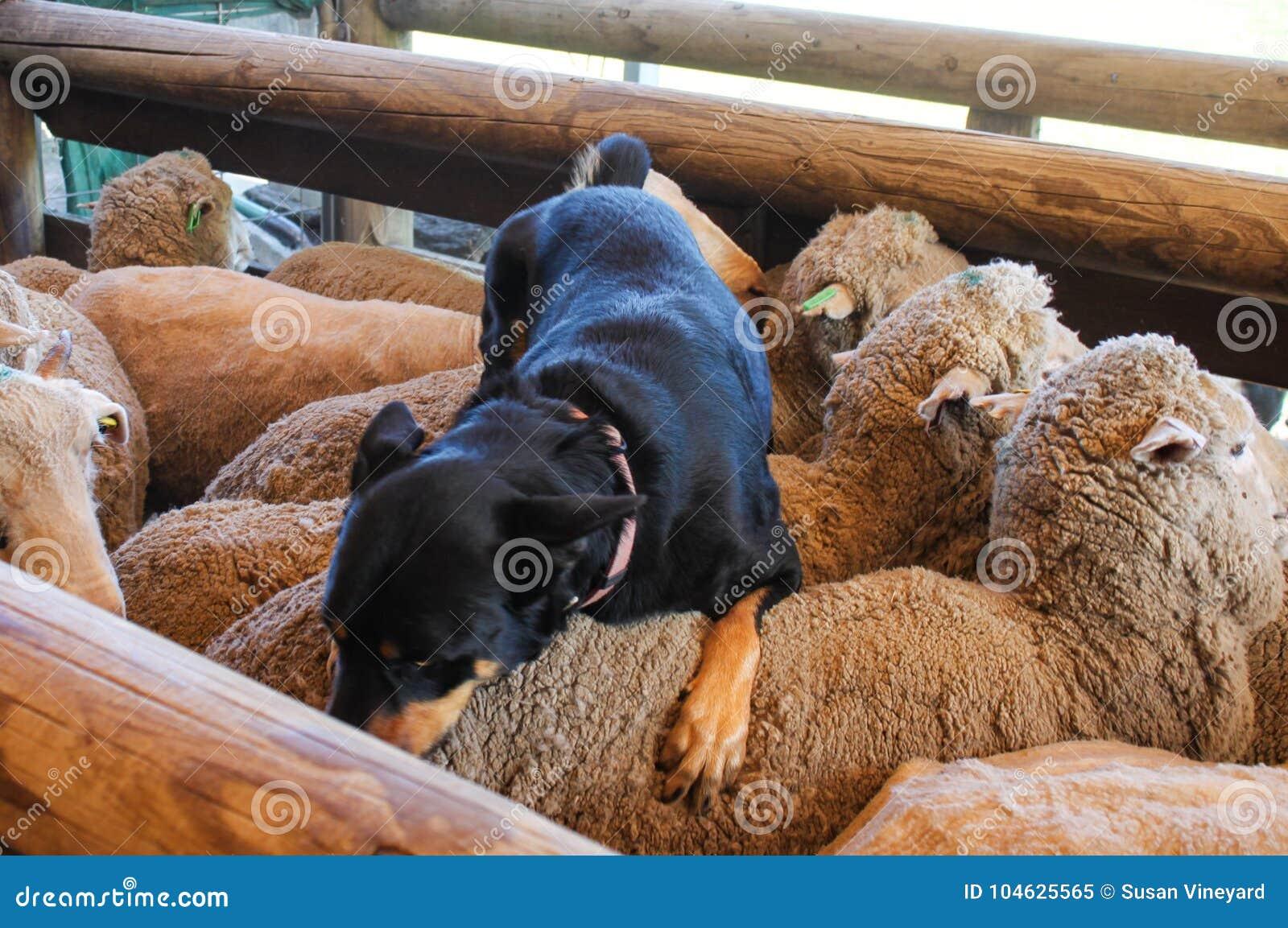 Download Herdershond Bovenop Schapen Stock Afbeelding - Afbeelding bestaande uit honds, groep: 104625565