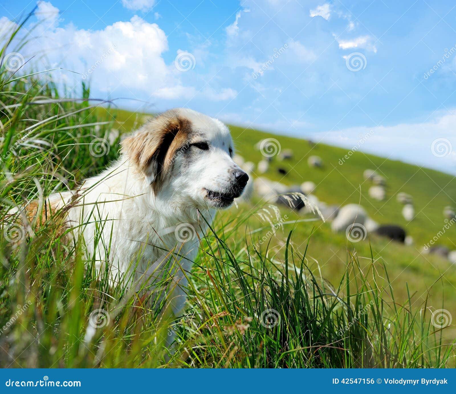 Herdershond en schapen