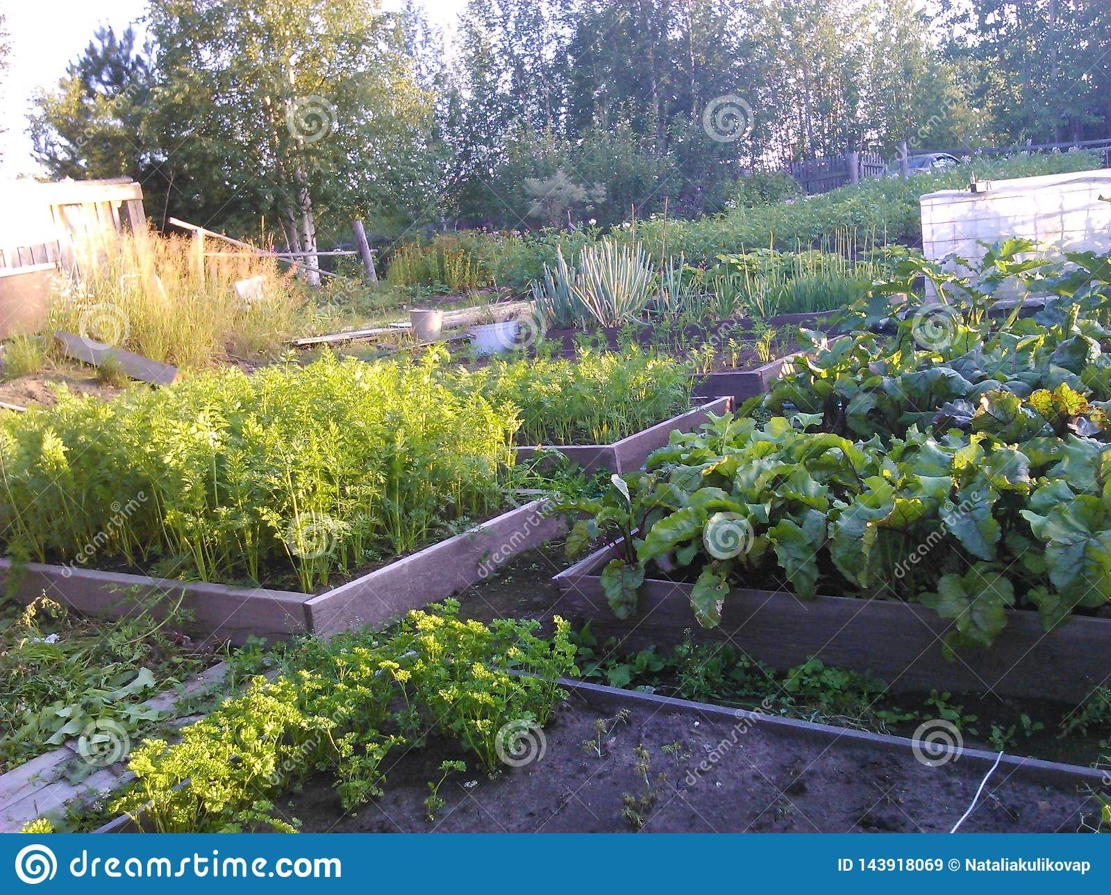 Prime Beet On The Garden Siberia Summer Cottage In August Stock Download Free Architecture Designs Ponolprimenicaraguapropertycom