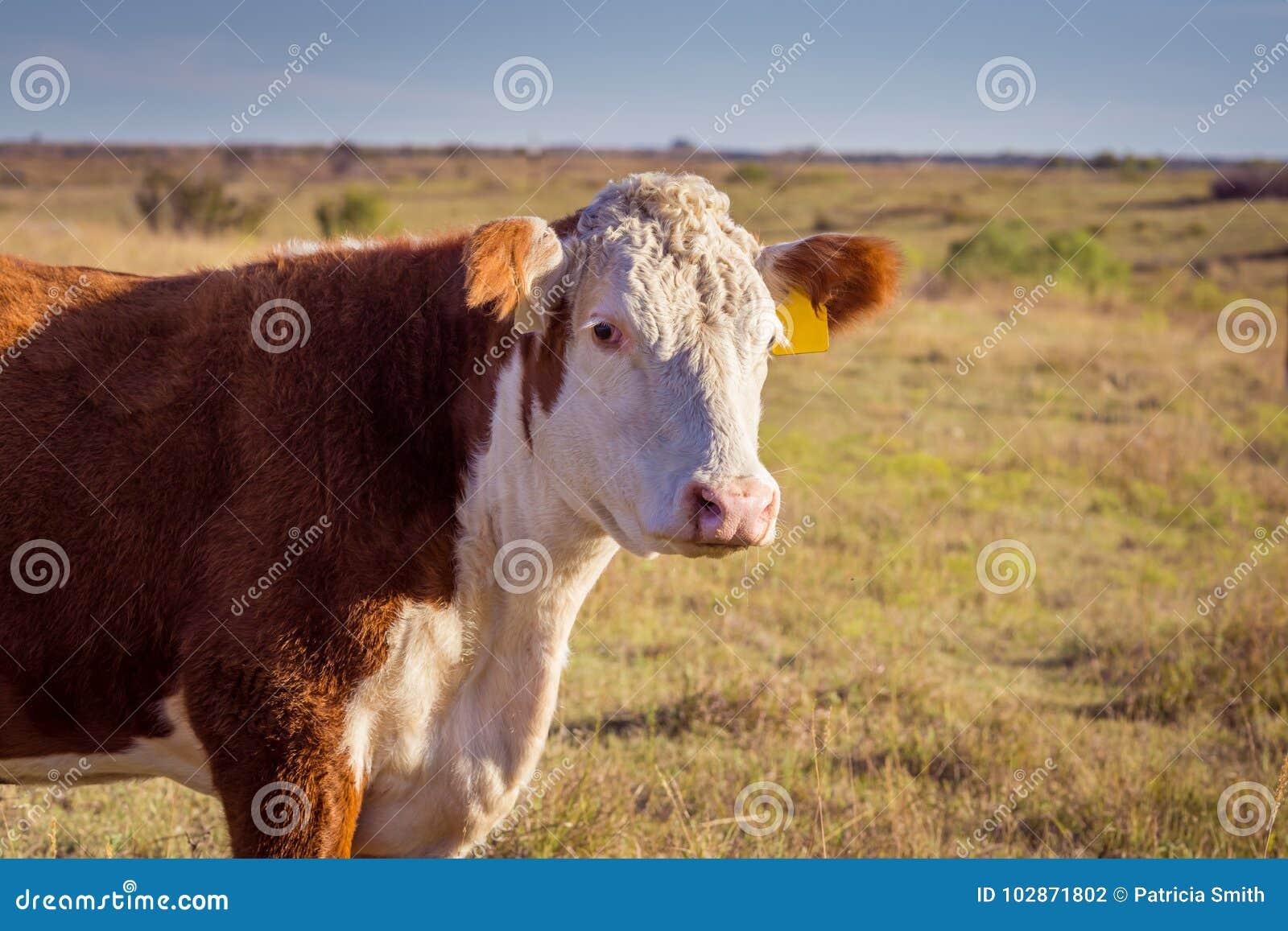 Hereford коровы