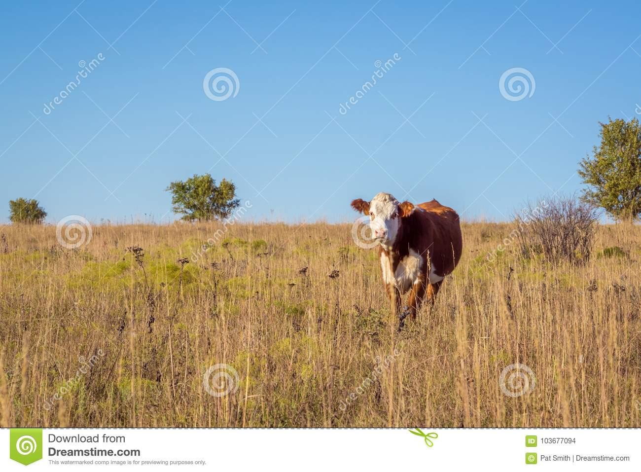 Hereford cow in pasture
