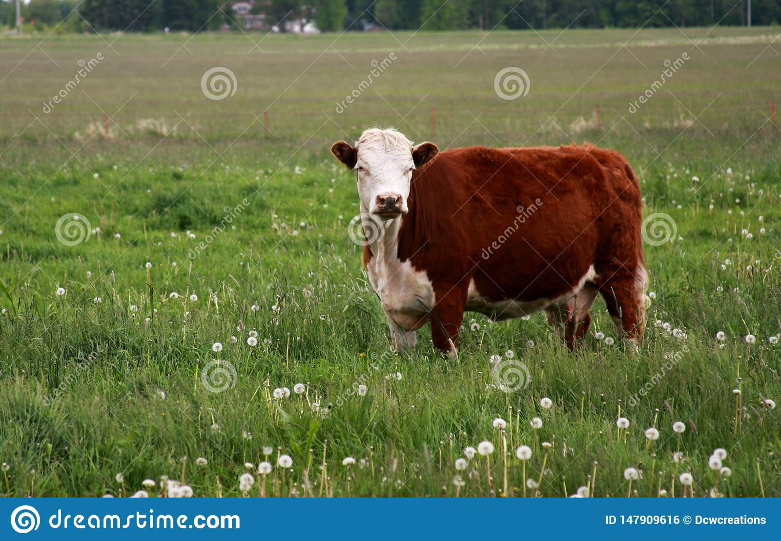 Hereford Cow in a Summer Pasture