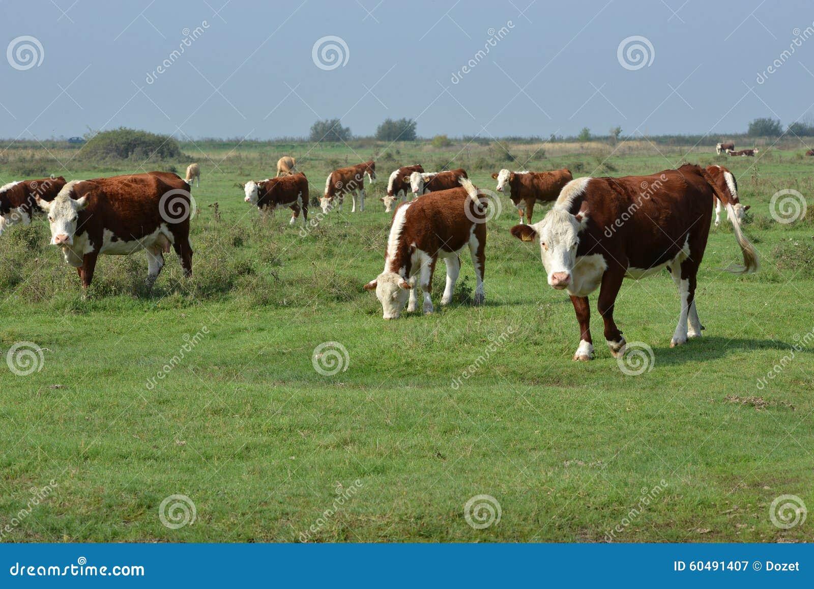 Hereford-Herde auf einer Weide