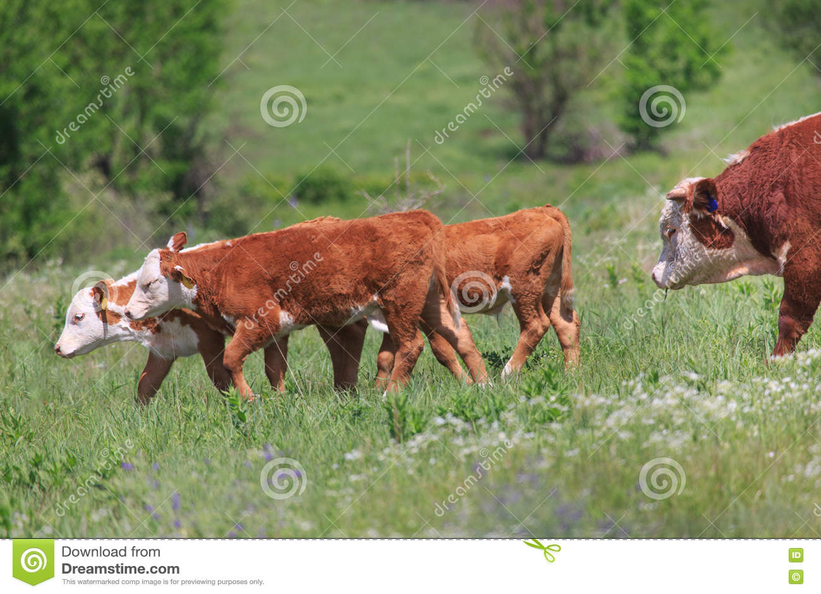 Hereford kalvar och tjur