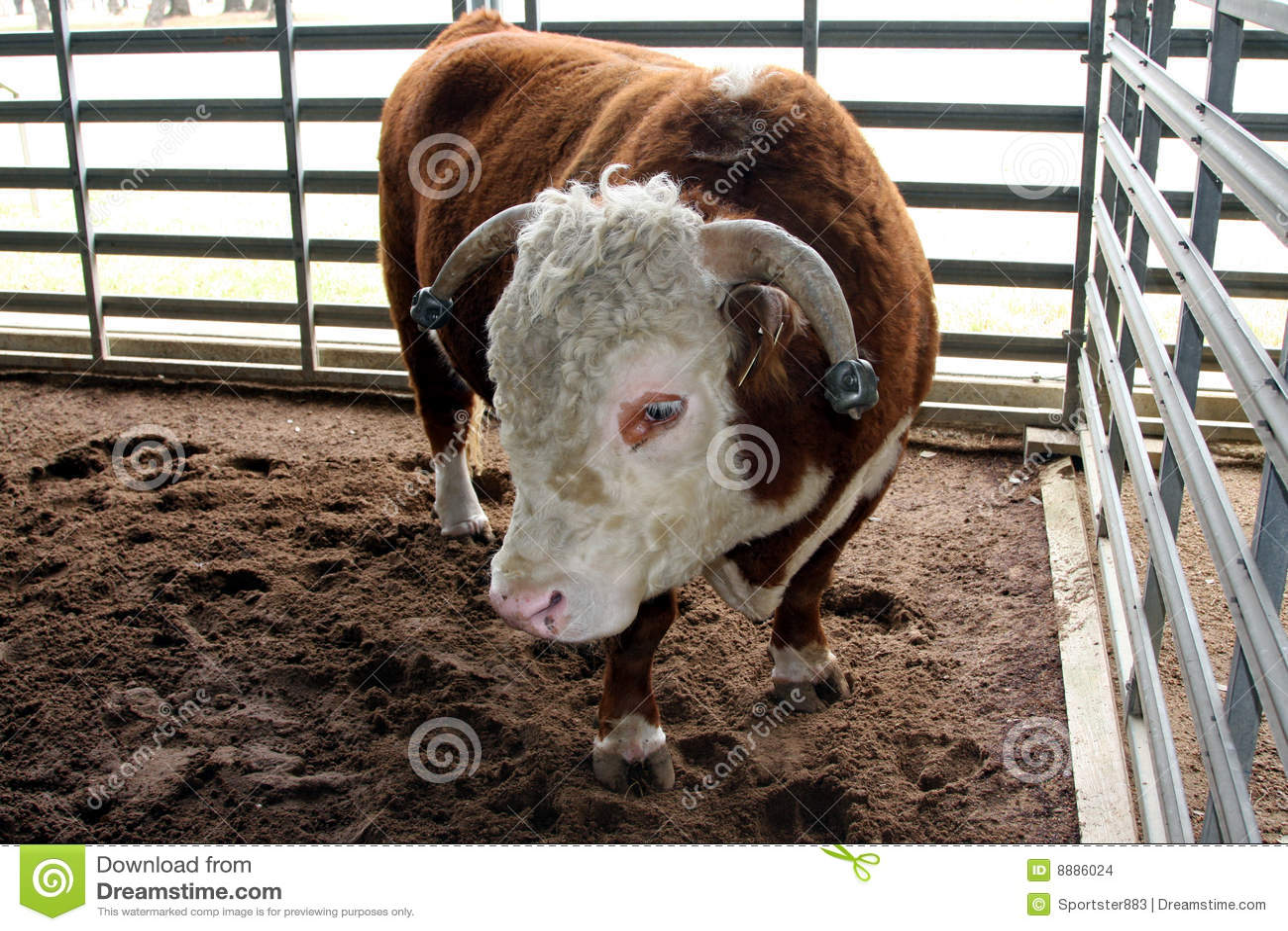 Hereford Preis Bull