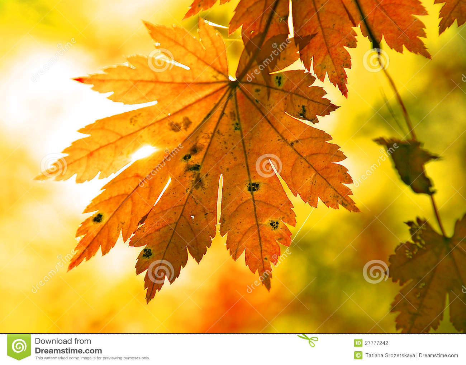 Herfst esdoornblad en zonnestraal