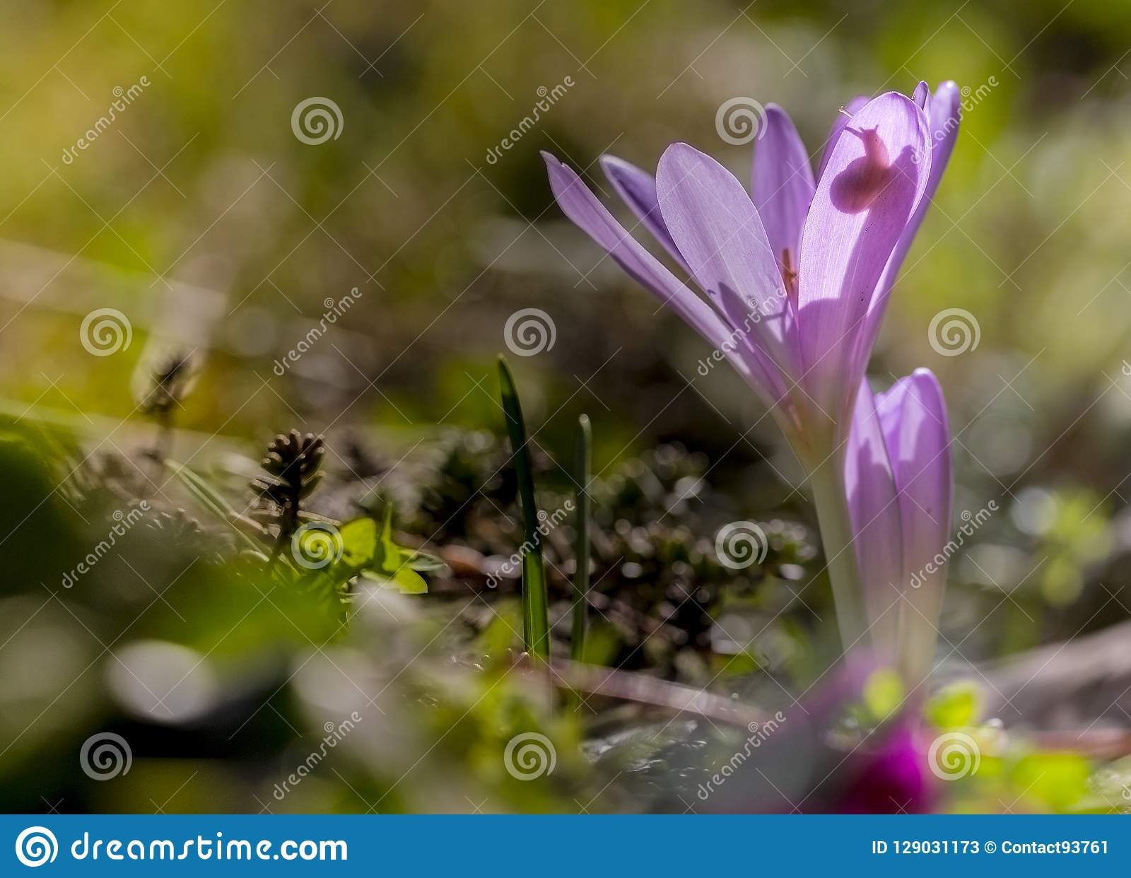 Herfsttijloos, шафран луга, autumnale безвременника
