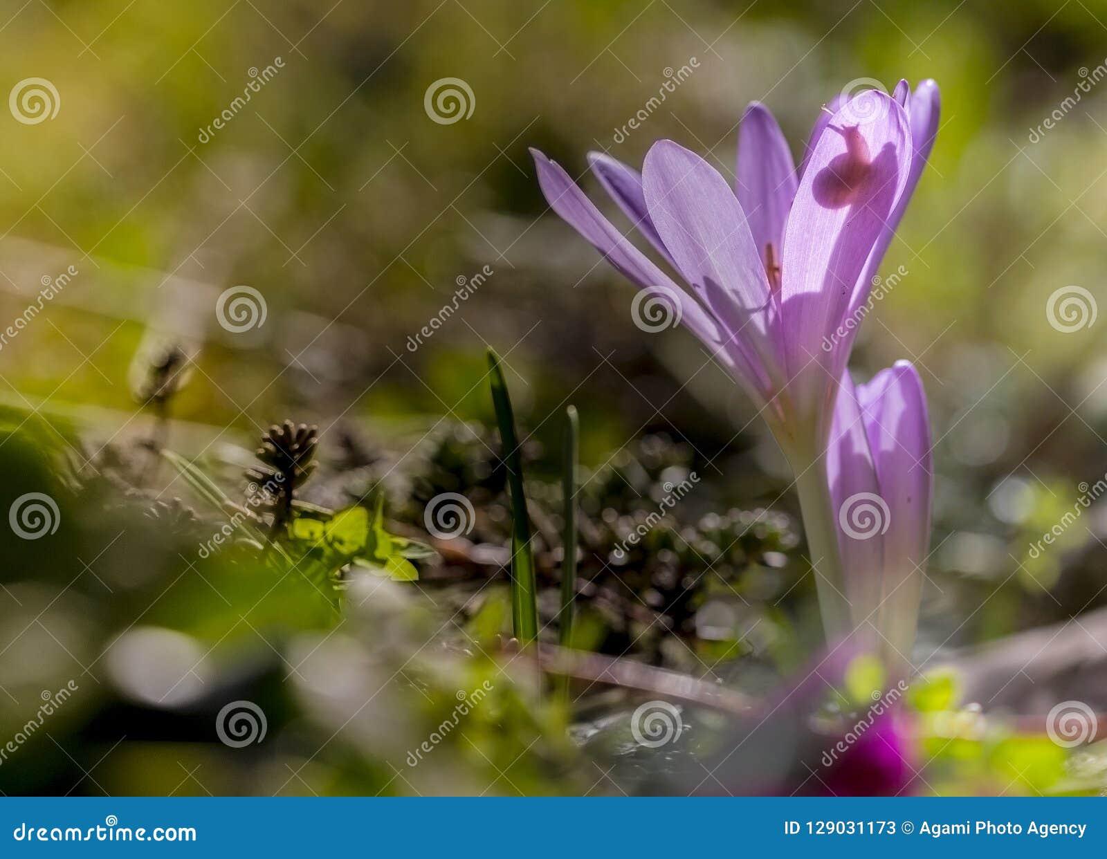 Herfsttijloos, zafferano di prato, colchicum autumnale