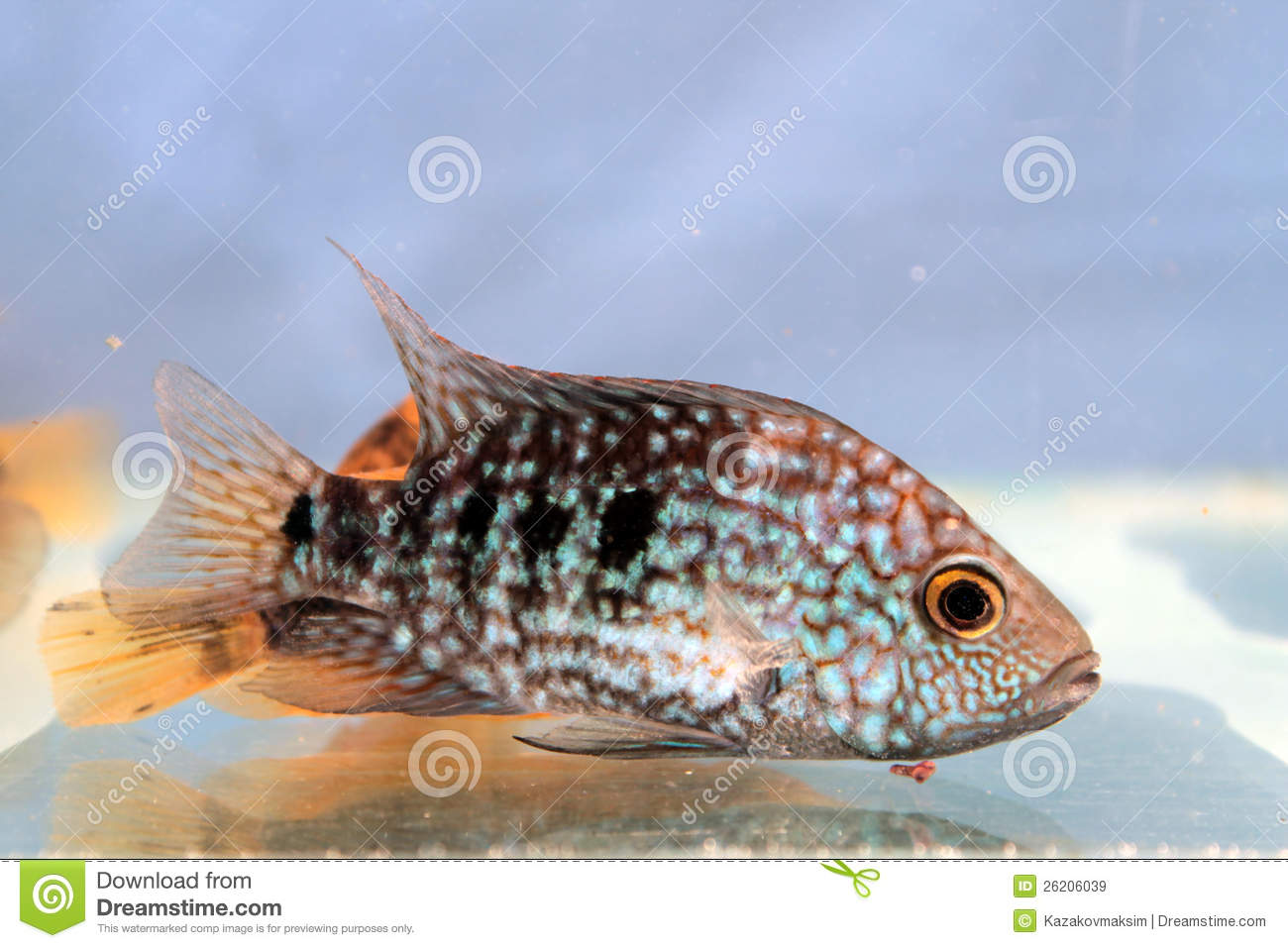 Herichthys carpintis green texas cichlid royalty free for Freshwater fish in texas