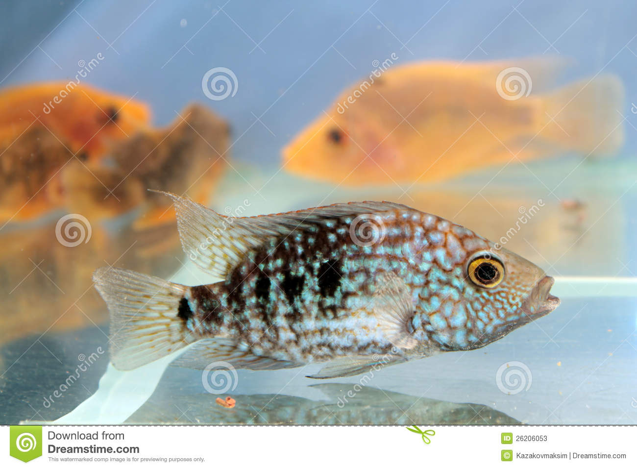Herichthys carpintis green texas cichlid stock photos for Freshwater fish in texas