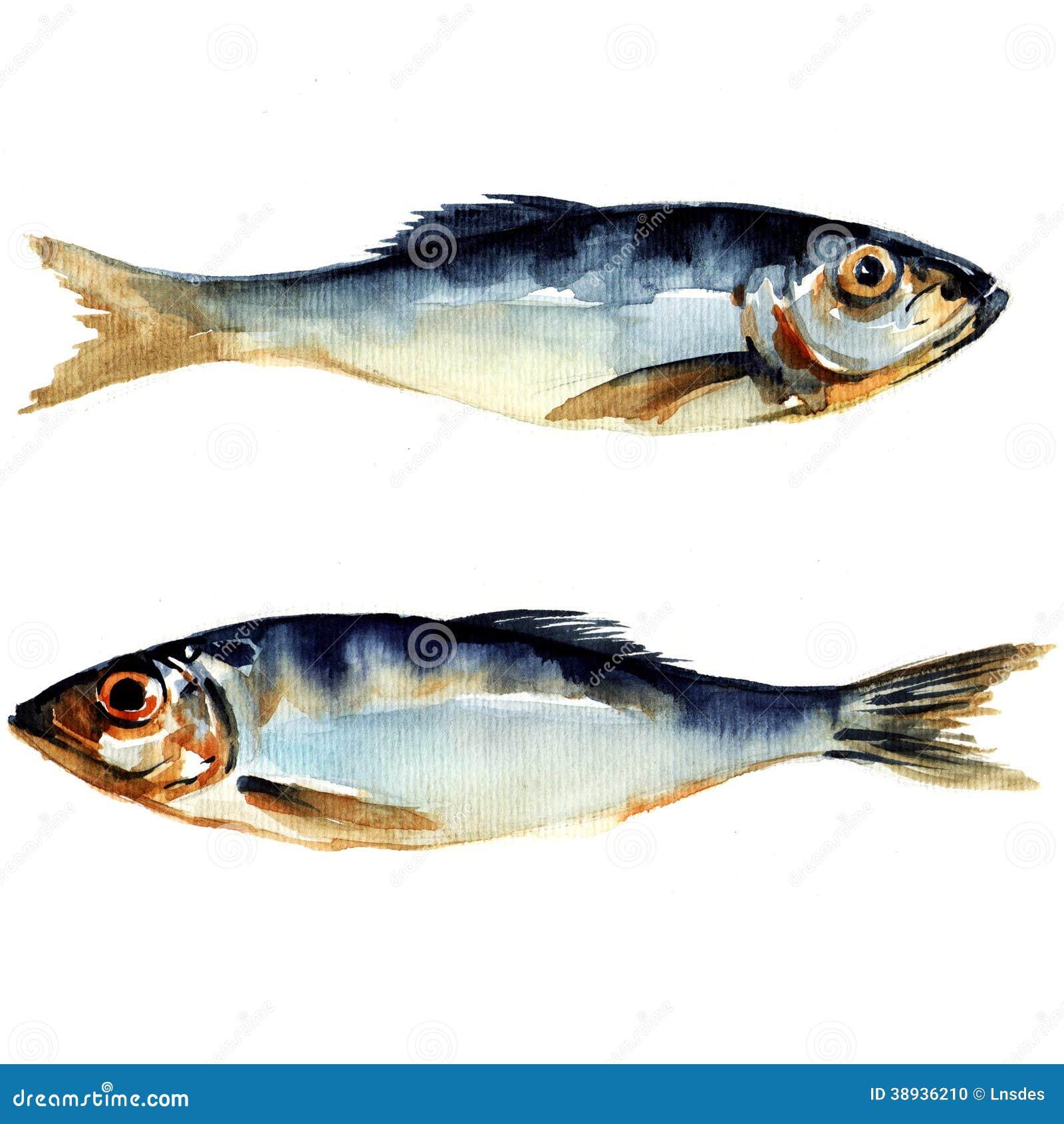 Heringfische. Aquarellmalerei