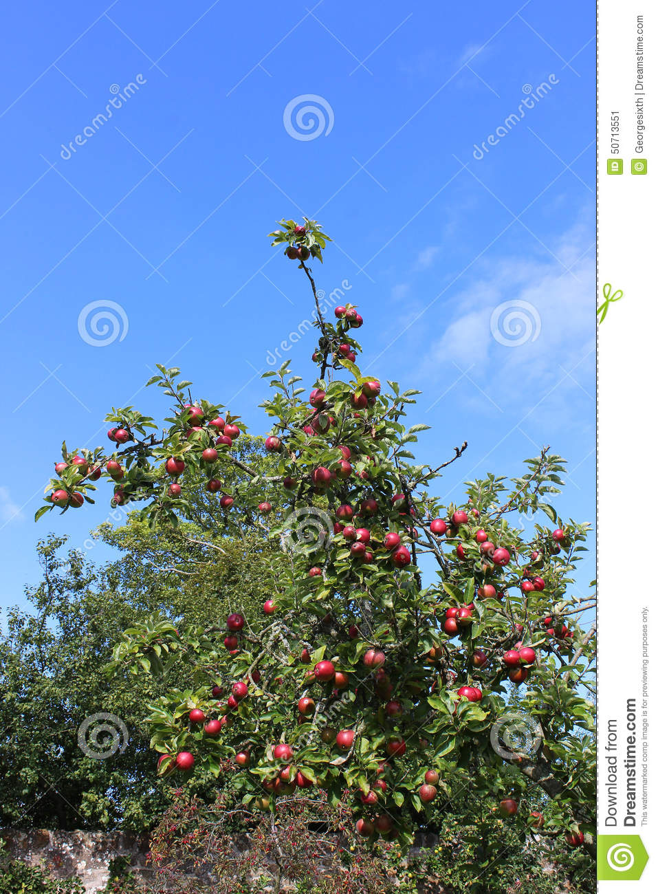 Heritage apple tree laden with fruit in autumn stock photo image 50713551 - Planting fruit trees in autumn ...