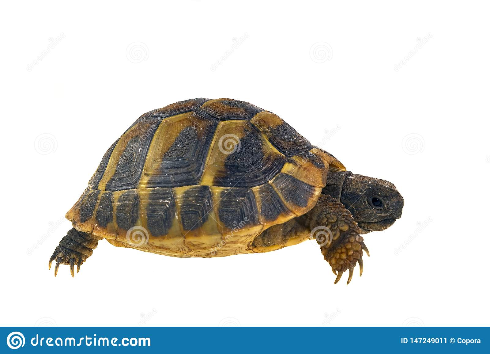 Hermann`s tortoise Testudo hermanni isolated on white background