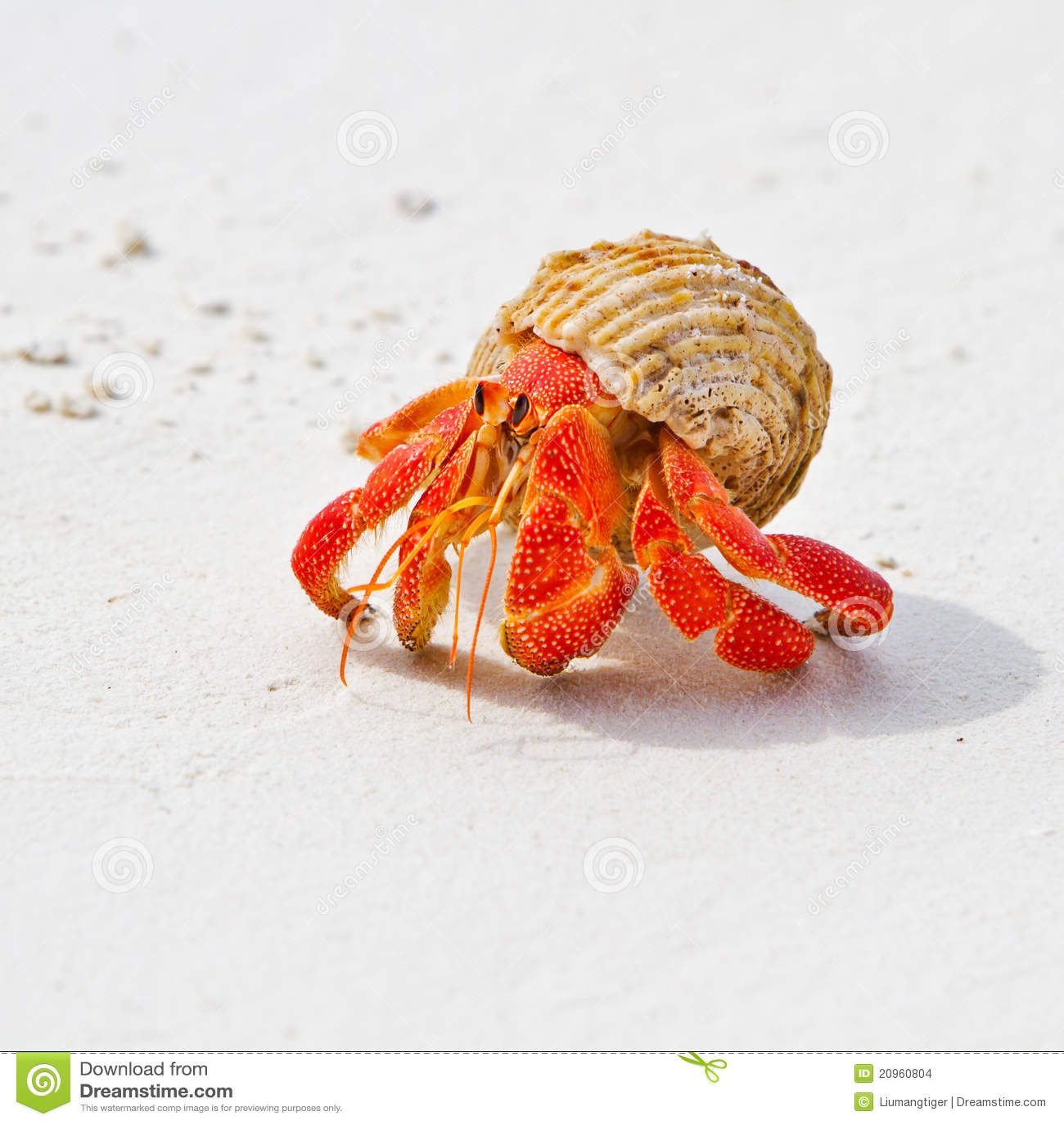Hermit Crab Stock Images Image 20960804