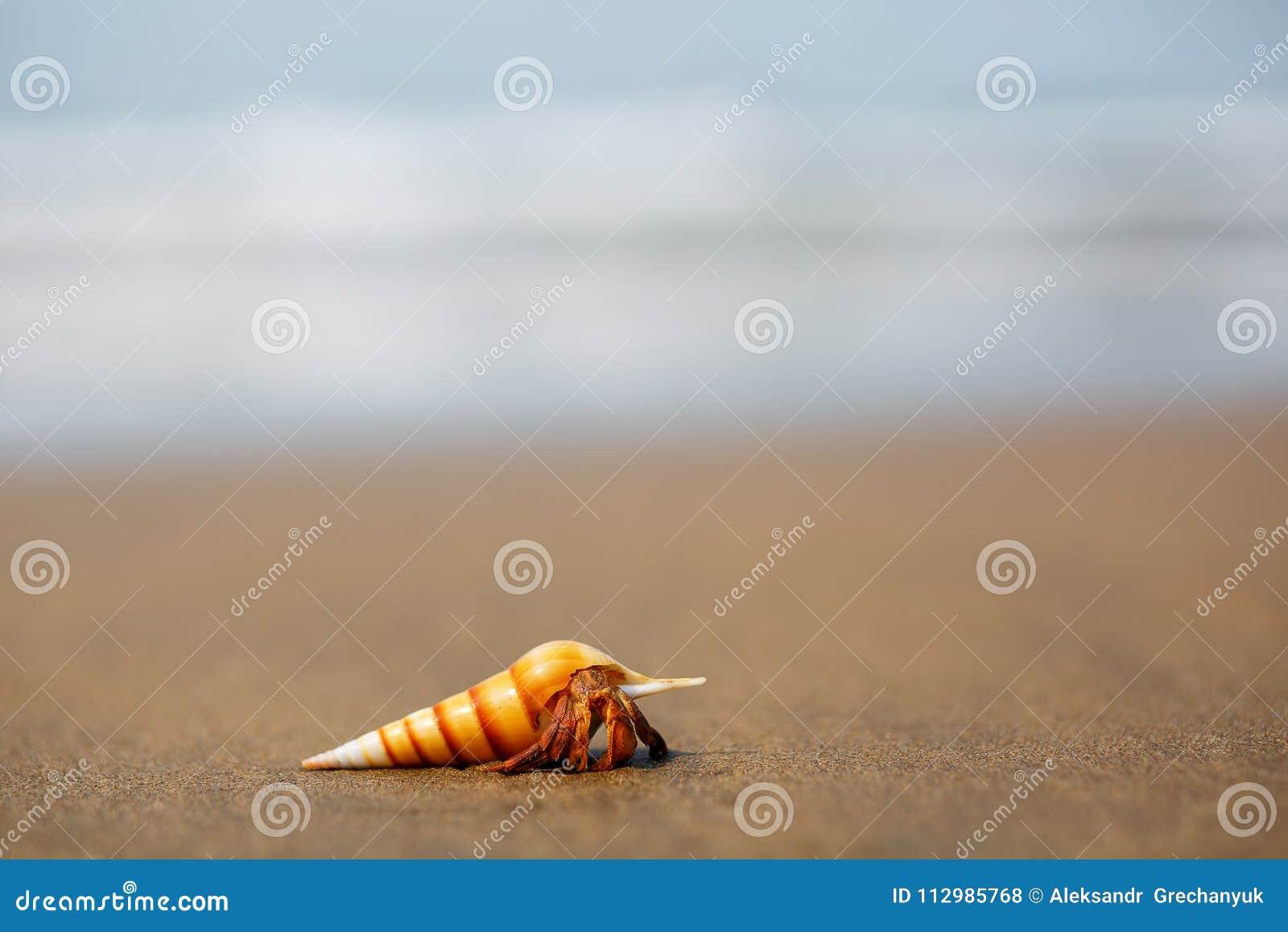 Hermit crab on the beach in Varkala