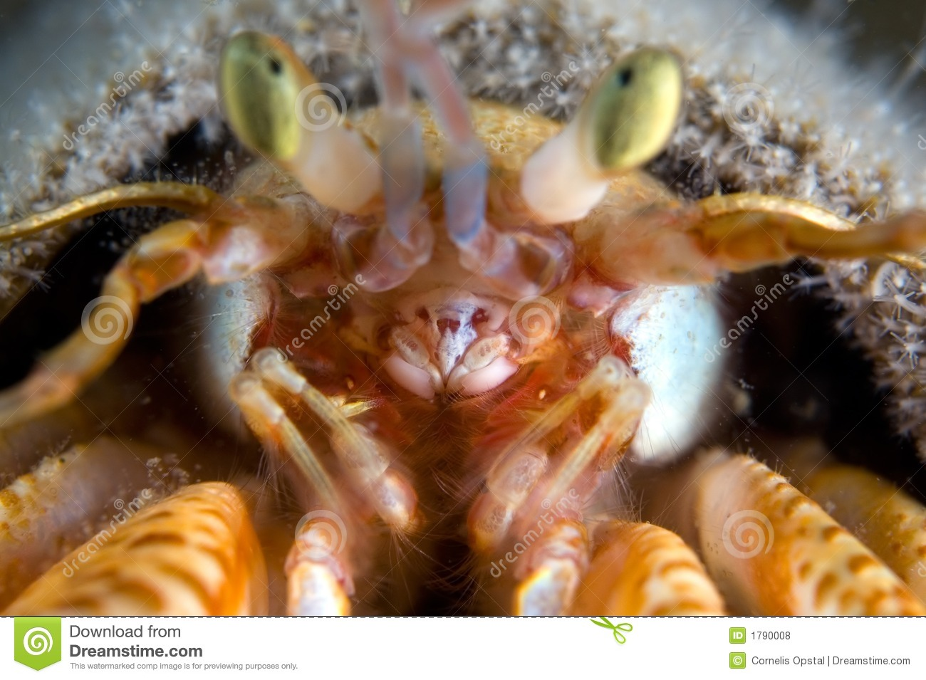hermit crab focus in the mouth royalty free stock photos crib clipart crab clipart black and white