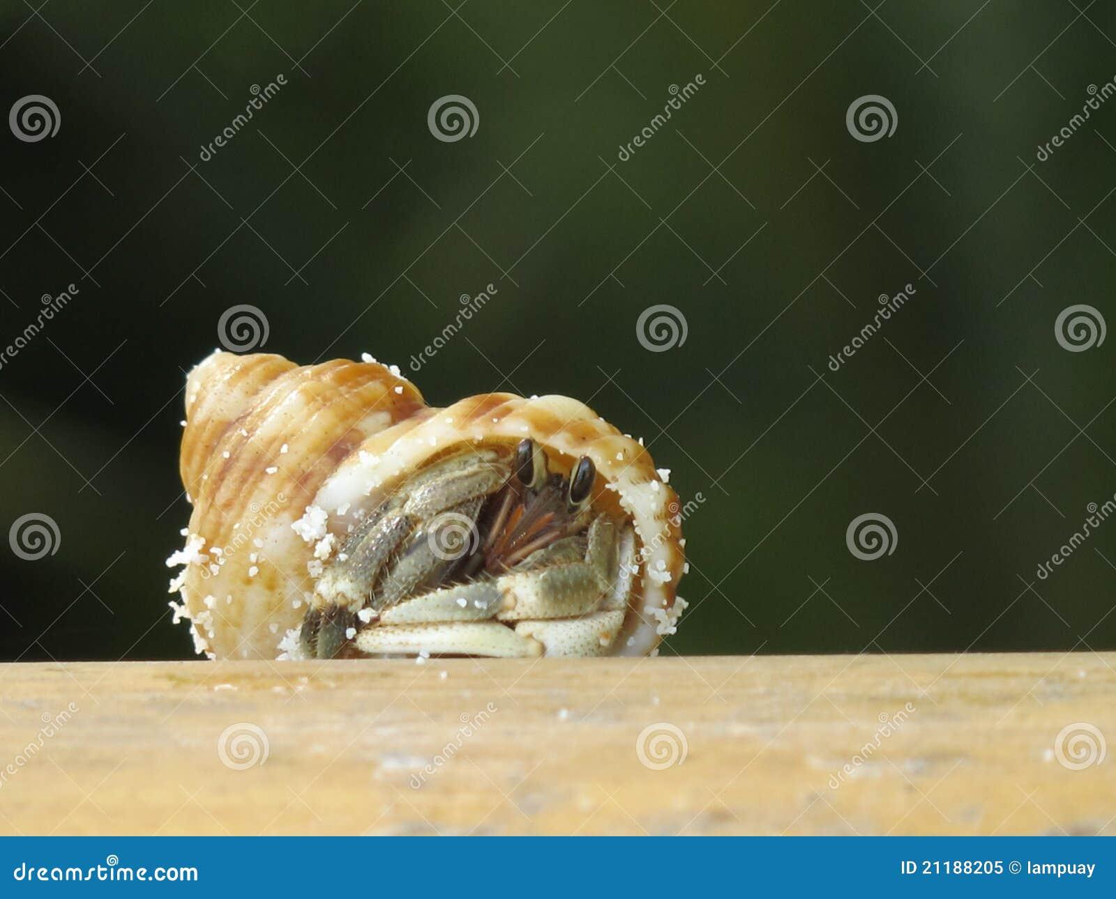 Hermit crab on wood