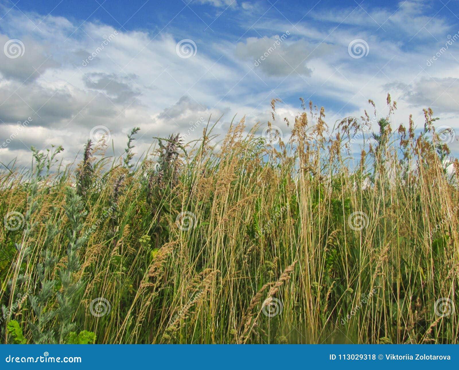 Hermosa vista del hierbas en el cielo azul