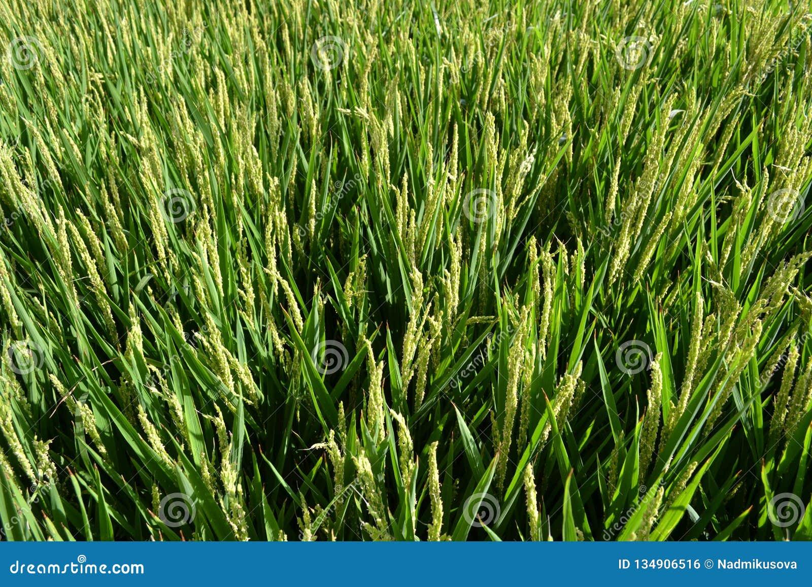 Hermosa vista para poner verde el campo del arroz en un día de verano soleado