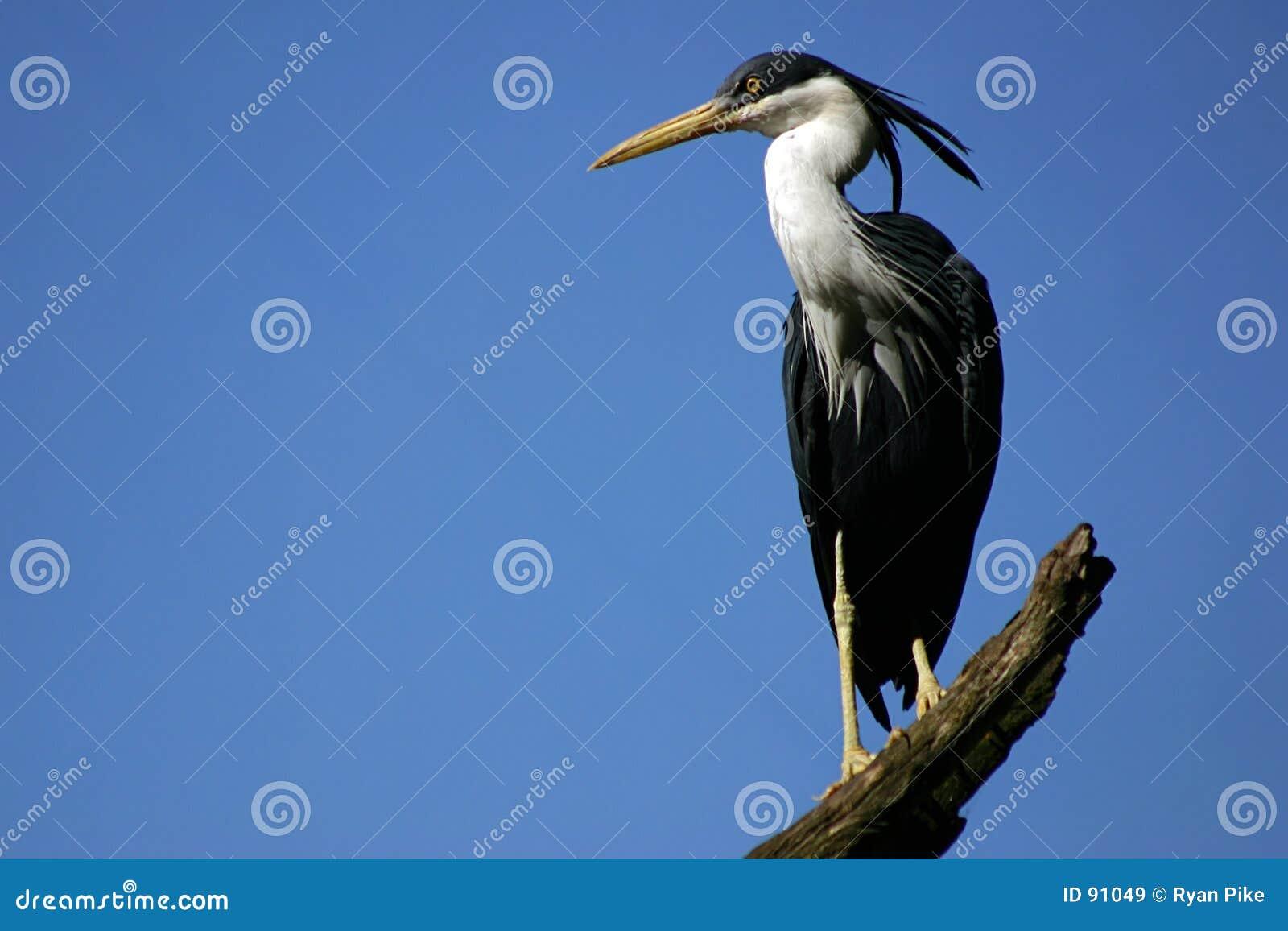 - heron