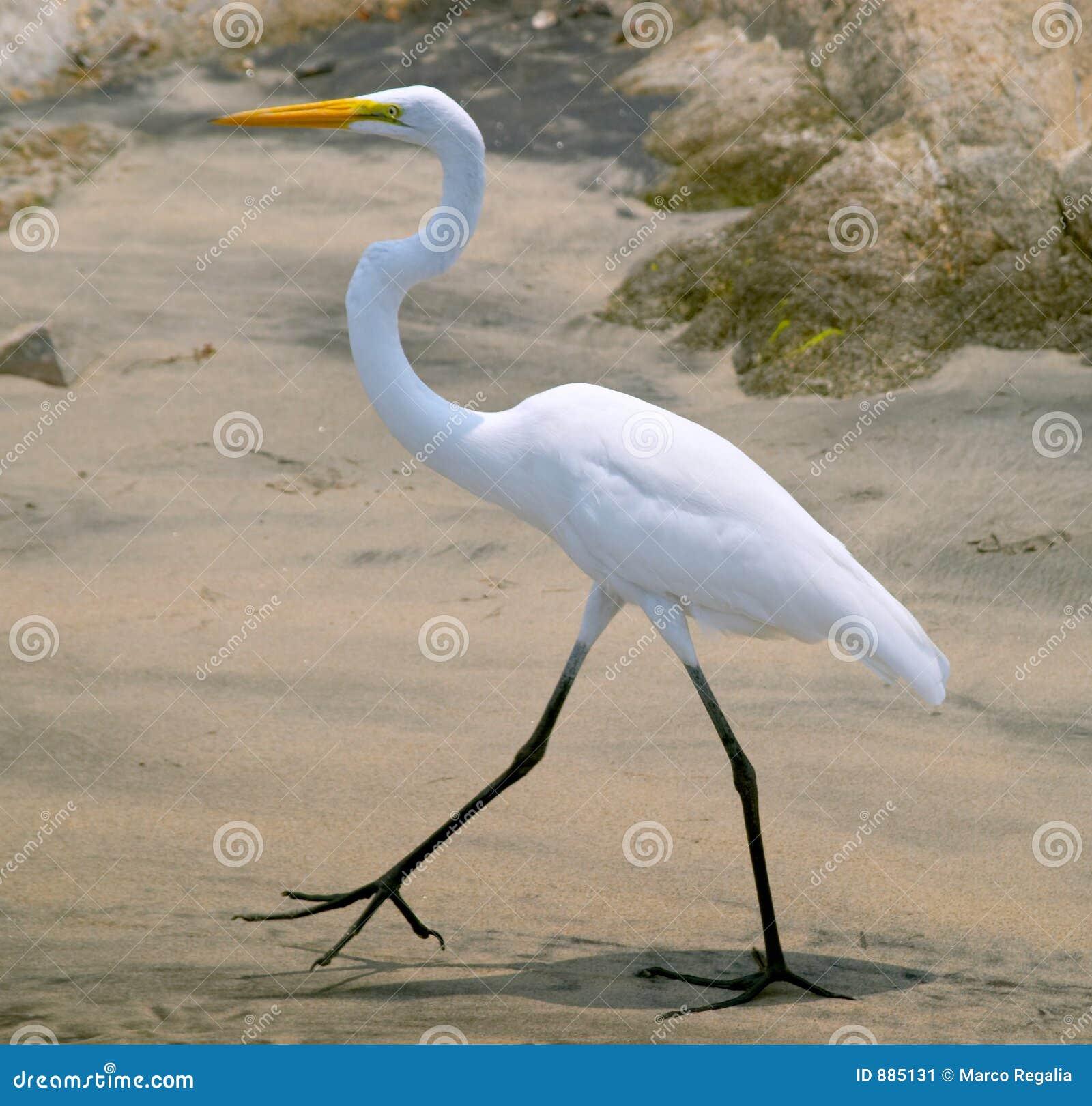 Heron ardea herodias white