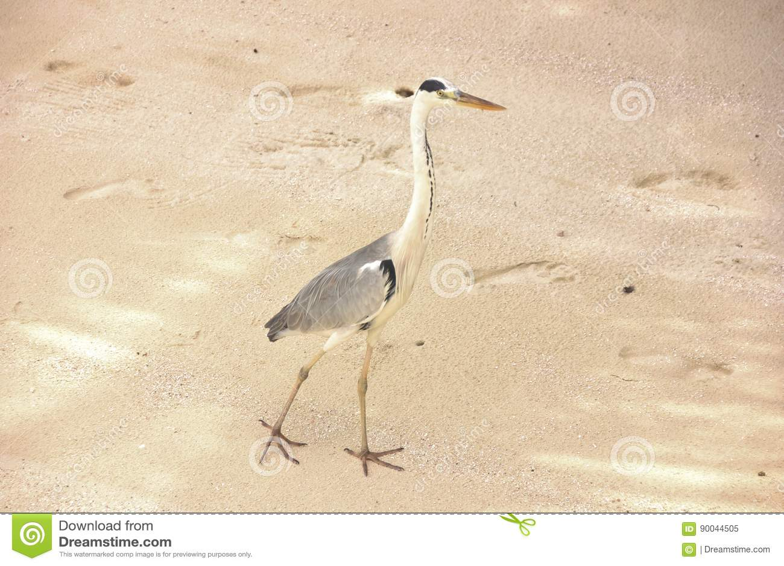 Heron bird walking on the sand, Maldives