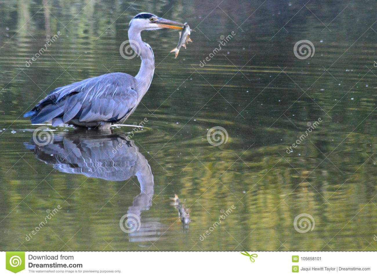 A heron with a fish in their beak on the Ornamental Pond, Southampton Common