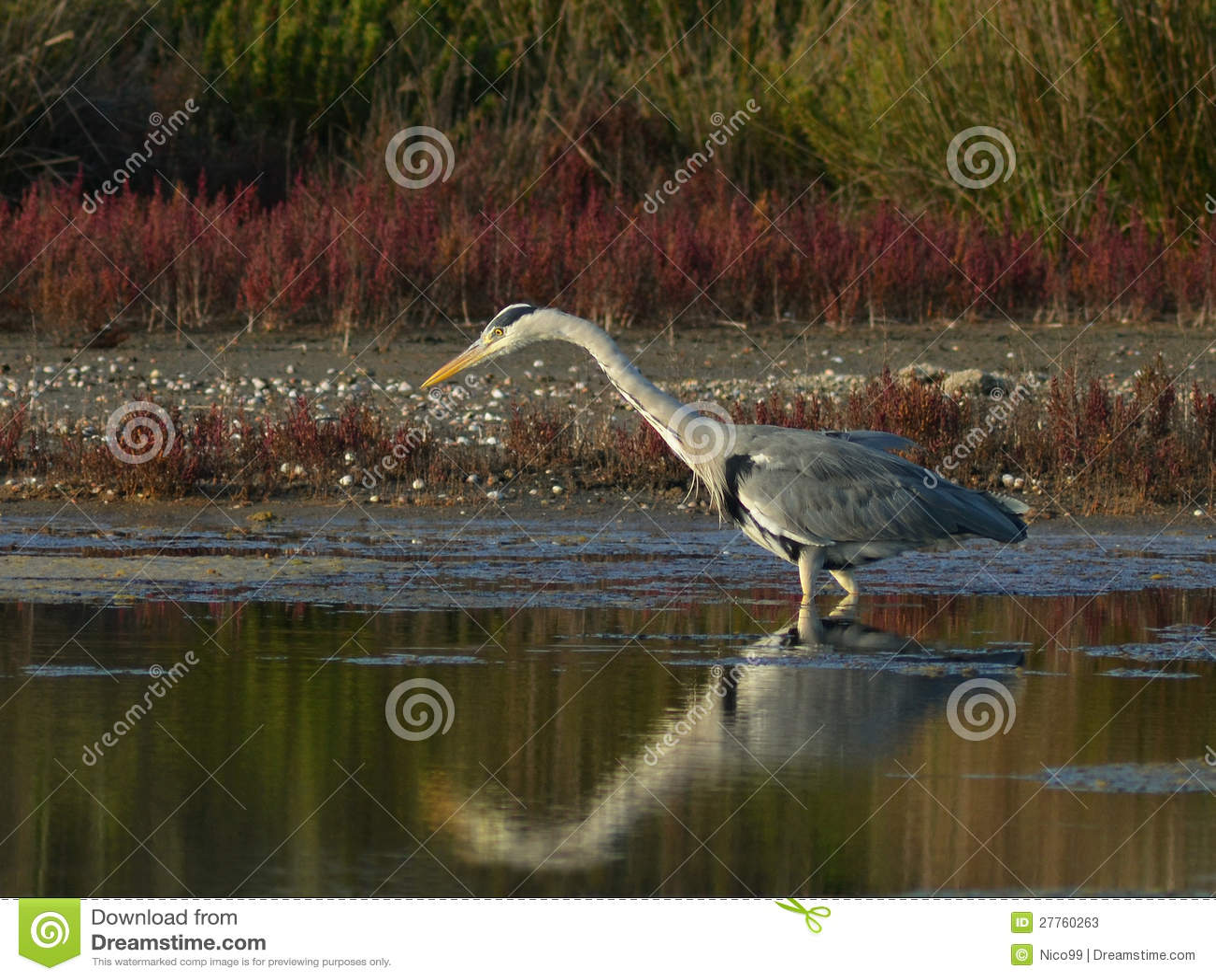 Heron fishing in marsh stock photos image 27760263 for Blue marsh lake fishing